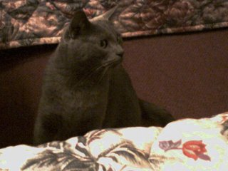 Ashes - Lost Cat, Huntington Beach, CA (Orange County). Adult Male Solid Gray (Russian Blue)