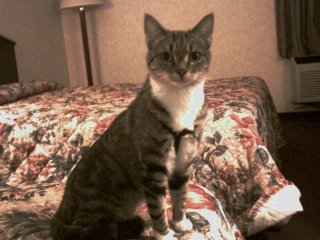Kitty Girl - Lost Cat, Huntington Beach, CA (Orange County). Female Gray Tabby Cat with white neck and white paws